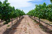 Grape Rows In Vineyard