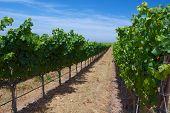 Line Of Vineyard