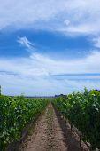 Vineyard And Blue Sky