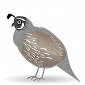 Funny Quail On A White Background. Vector