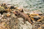 Iguana On Rock Looking At Camera