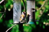 picture of goldfinches  - Goldfinch casting his shadow onto a Niger seed feeder in my back garden - JPG