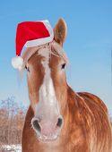 Blonde Belgian draft horse wearing a Santa hat, looking straight at viewer