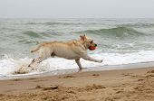 Labrador Running At The Sea With An Orange Ball
