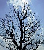 Silhouette Dead Tree Under Blue Sky
