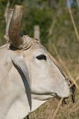 White Bull Head Closeup (II)
