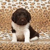 Beautiful Puppy Of Kleiner Munsterlander Vorstehhund