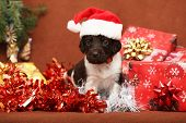 picture of christmas puppy  - Beautiful puppy of Kleiner Munsterlander Vorstehhund at christmas