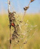 Ladybug On A Beam Of Dry Grass