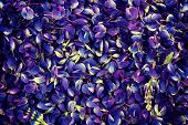 Garden lupine petals for background