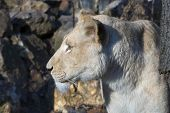 stock photo of african lion  - White South African lion  - JPG