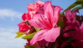 foto of azalea  - Azalea bush with lots of blooms and the sky and clouds behind - JPG