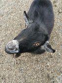 Got Your Goat