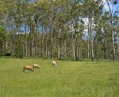 stock photo of tall grass  - Australian rural bush scene landscape with tall gum trees and beef cattle grazing on fresh green grass - JPG