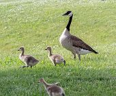 Canada Goose And Her Goslings