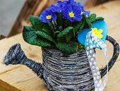 Blue Primrose in small wicker basket