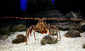 Mediterranean Spiny Lobster