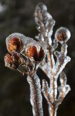 Crape Myrtle In Ice