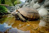stock photo of green turtle  - cute green turtle walking on a pond in a farm looking peaceful - JPG