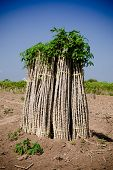 stock photo of cassava  - The cassava farm at the countryside of Thailand - JPG