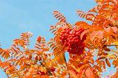 rowan leaves and berries