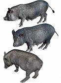 Vietnamese Potbelly Pig