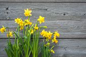 image of daffodils  - Spring daffodils against old wooden background - JPG