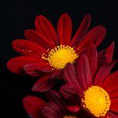 Closeup Composition Of Red Velvet Chrysanthemum Flowers On Black Background, Macro