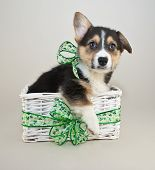 picture of corgi  - Corgi puppy sitting in a basket with St Patrick - JPG