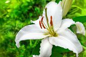 white lily flower in a garden