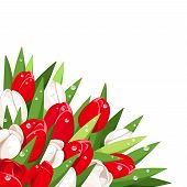 Red and white tulips with dew drops. Vector illustration.