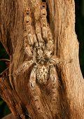 Ornamental Baboon Tarantula.
