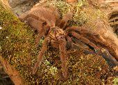 Caribbean Golden Grey Tarantula