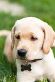 Adorable Yellow Lab Puppy