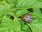 Colorado Bug On Potato Leaves