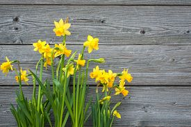 foto of daffodils  - Spring daffodils against old wooden background - JPG