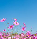 image of cosmos flowers  - image of Group of Purple cosmos flower in the field with blue sky background - JPG