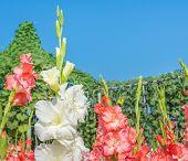 picture of gladiolus  - image of orange gladiolus flower in the garden - JPG