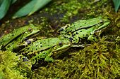 pic of camouflage  - Water frog camouflaged in a pond in summer - JPG