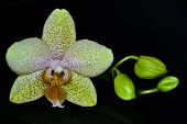 image of yellow orchid  - phalaenopsis yellow speckled - JPG