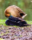 picture of duck  - Close up portait of a duck on grass and dirt - JPG