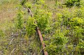 picture of weed  - Different types of weeds grow and flourish between the unused rusty rails - JPG