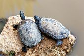 stock photo of swamps  - Turtles or tortoises on stone on swamp - JPG