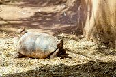 foto of dry grass  - Turtle or tortoise on ground with straw or dry grass - JPG