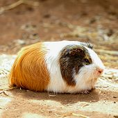 image of guinea  - Guinea pig or hamster on the ground - JPG