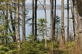 image of conifers  - White Birch and Conifer Trees at Fort Point State Park - JPG