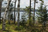 picture of conifers  - White Birch and Conifer Trees at Fort Point State Park - JPG