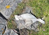 picture of halibut  - Fish skeleton of a halibut on Swedish west coast beach - JPG