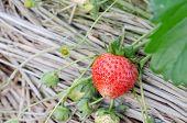 pic of strawberry plant  - fresh Strawberry plants already ripe to harvest - JPG