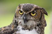 picture of owl eyes  - Close up of a Great Horned Owl also known as the Tiger Owl - JPG